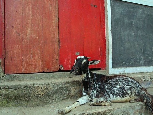 Goat, Fort Cochin, India | by passedports