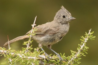 Juniper Titmouse | by J. N. Stuart