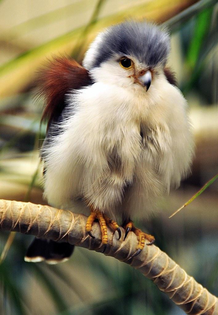 Baby Falcon   Muhammad Al-Qatam   Flickr