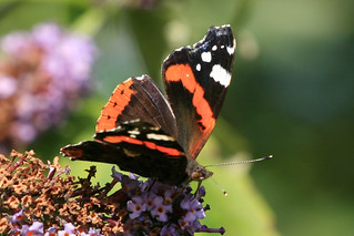 Red Admiral | by warrior1