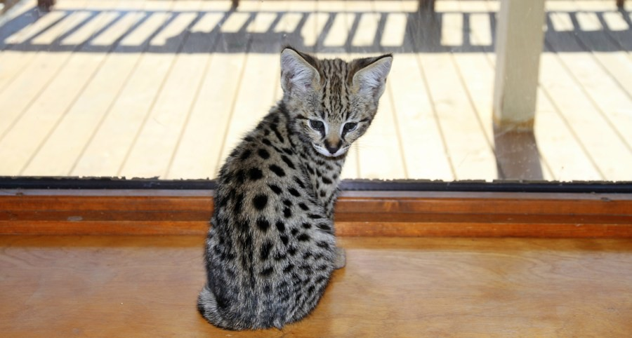 Savannah Domestic Cat For Sale Australia