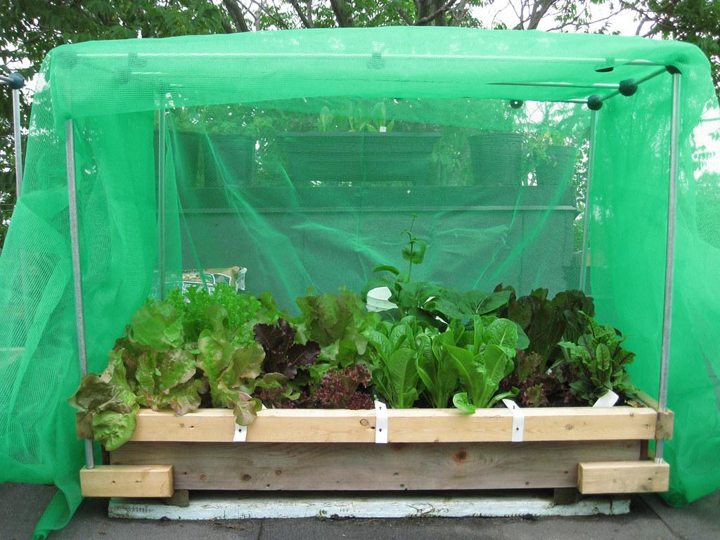 Rooftop vegetable garden 2010 salad plants growing under for Plants to grow in garden
