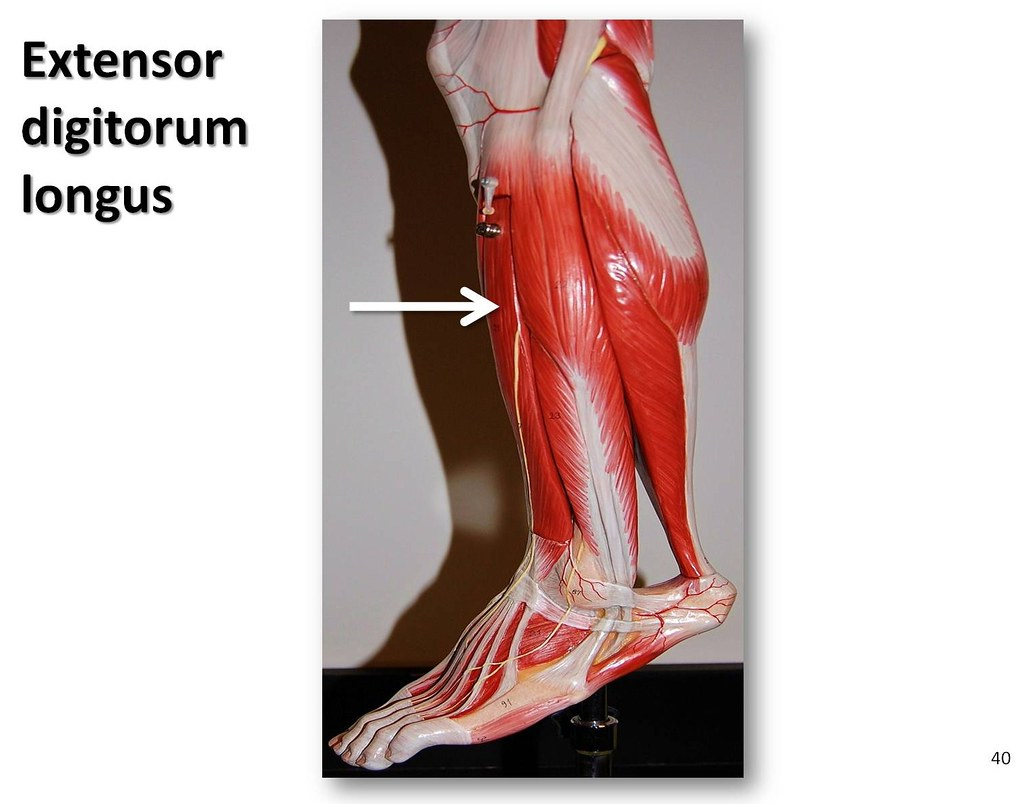 Extensor Digitorum Longus Muscles Of The Lower Extremity Flickr
