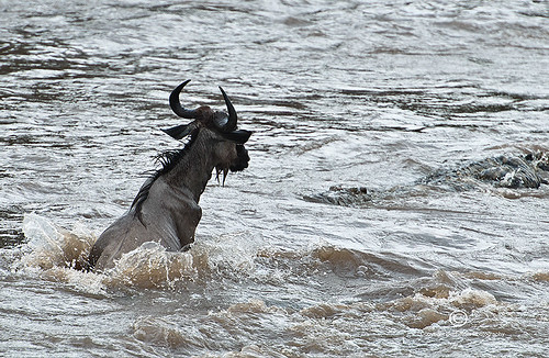 1. Nile crocodile attacking Wildebeest in Mara River in Great Migration,Masai Mara, Kenya | by belthelem