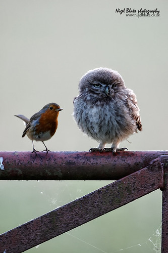 Little Owl, Athene noctua, juvenile and European Robin, Erithacus rubecula. | by Nigel Blake, 10 MILLION...Yay! Many thanks!