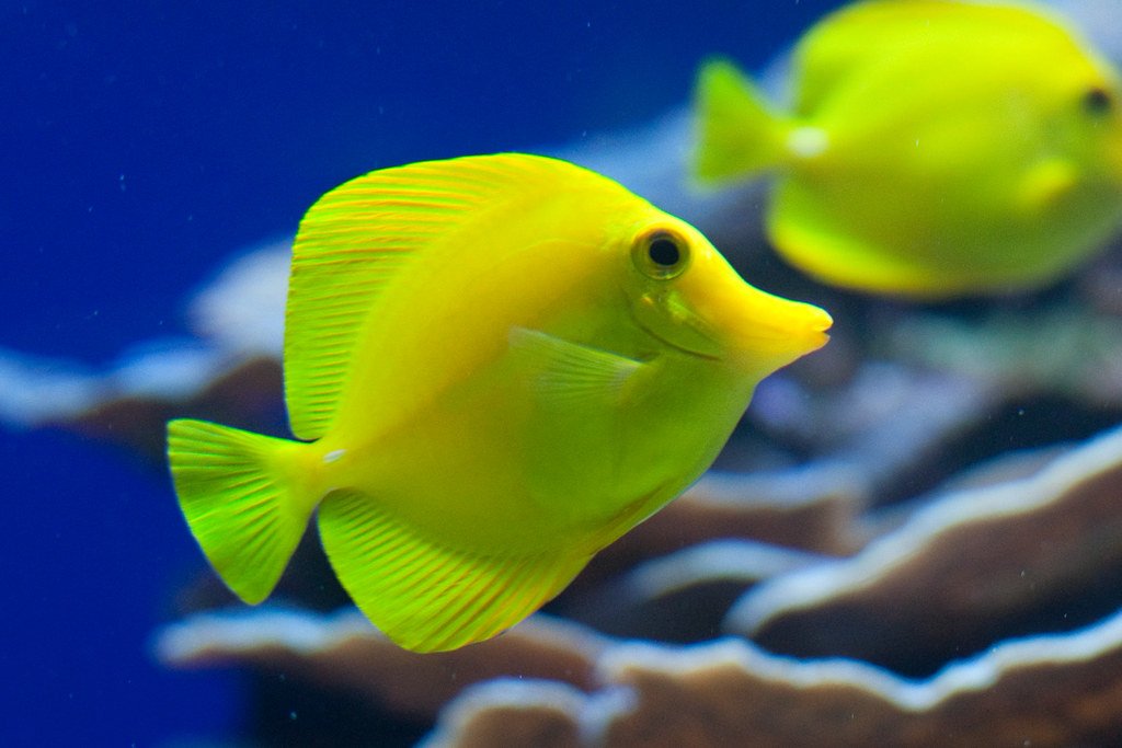 Yellow fish andrew roberts flickr for Yellow tail fish