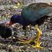 Purple Gallinule feeding a chick
