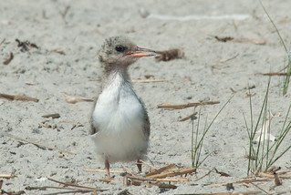 Common Tern Baby | by David Schenfeld