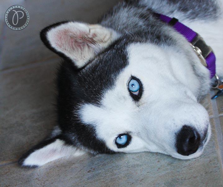 Beautiful Blue Eyes Siberian Husky This Is My Grand Daug Flickr