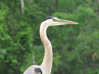 Blue Heron at Ashfield Lake | by Liz Castro