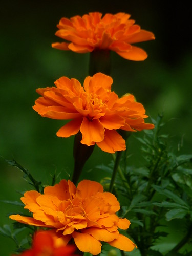 Three Orange Marigolds all in a Row | by Krittergirl