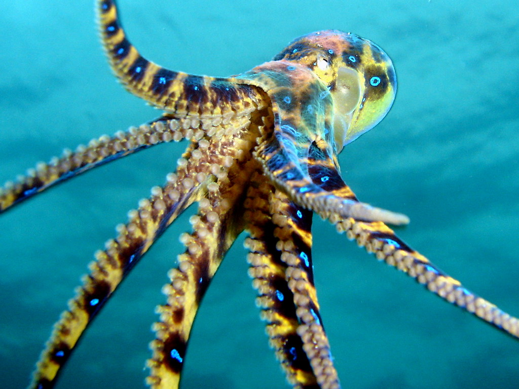 Blue octopus - photo#12