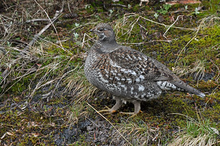 Sooty Grouse | by malcolmgold
