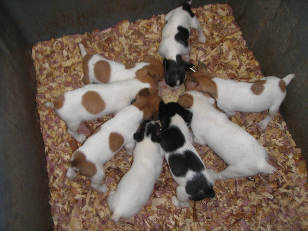 Feist Dogs Bunny X Bigun Pups Summer 10 Chowing Down At