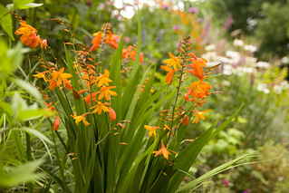 CrocosmiaOrangeade | by Scott Weber PDX