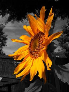 Sunflower ColorSplash | by [Jörgen]