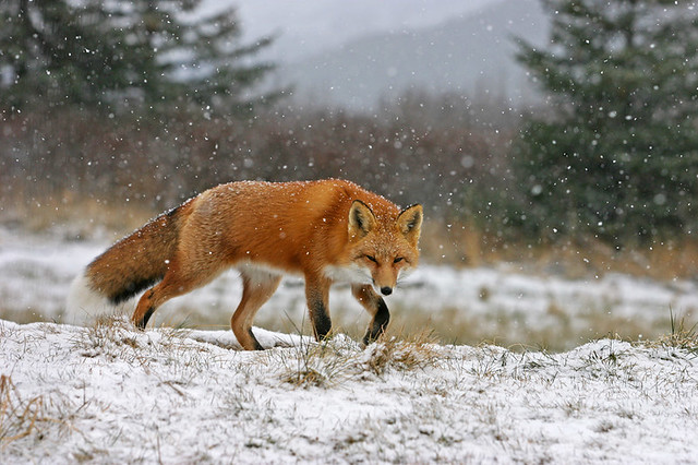 red fox in snow - photo #10