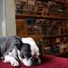 bookstore dog