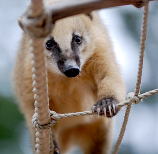 Coati | by floridapfe