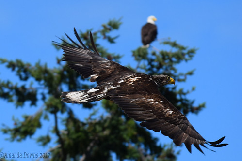 Juvenile Bald Eagle (Parent in background) | by mandypauldowns