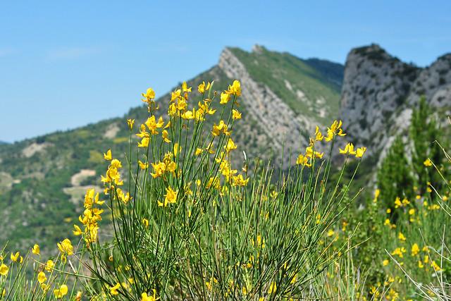 Der Ginster blüht ... Provence-Urlaub, Juni ... die Baronnies (Les Baronnies) ... Buis-les-Baronnies ... Bergtour, Bergwanderung, Botanik ... Foto: Brigitte Stolle 2014