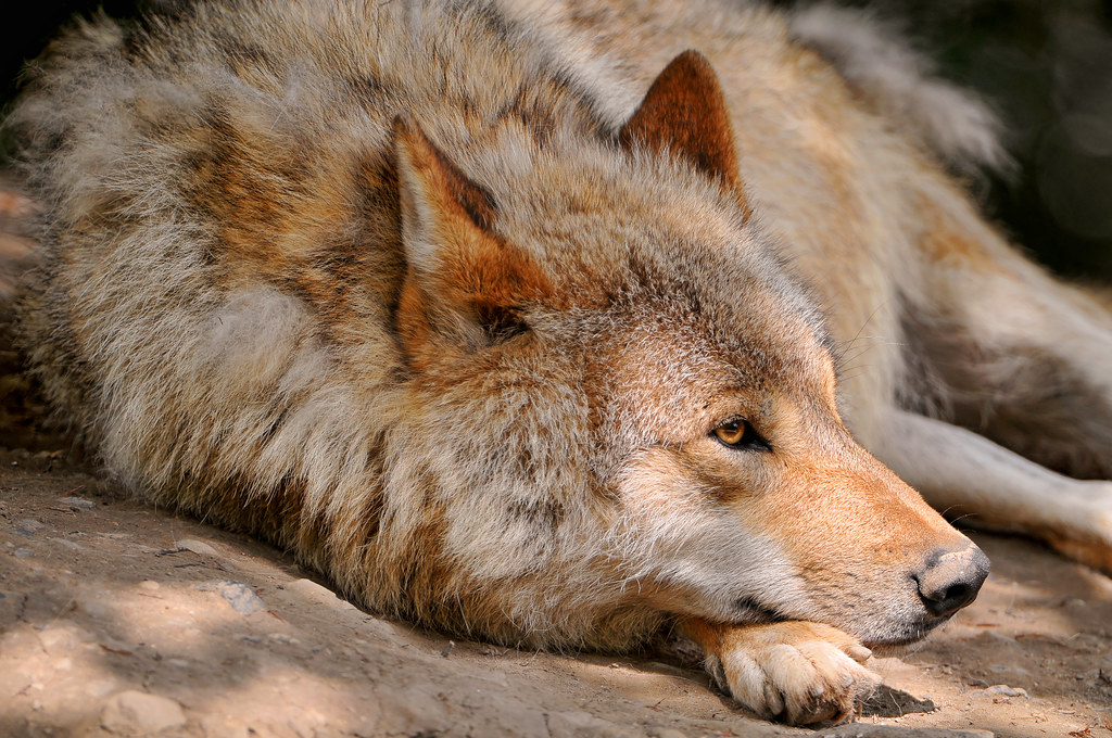 Lying emo wolf | Another portrait of one of the adult ...  Lying emo wolf ...