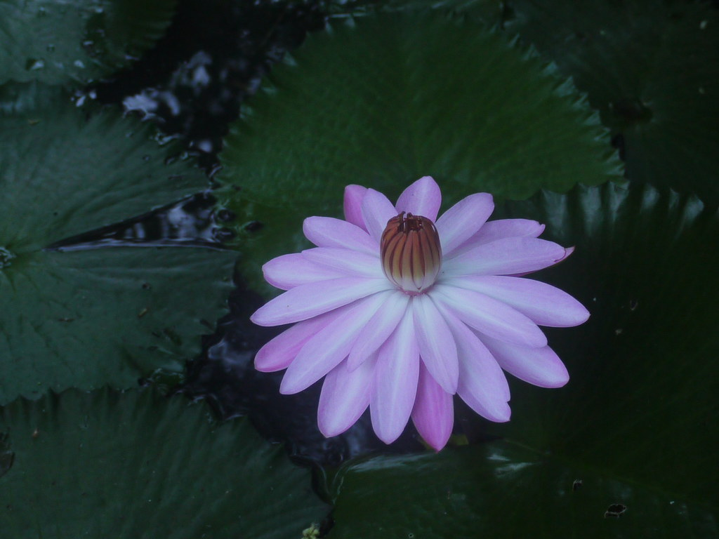 Kalhara sanskrit nymphaeaceae waterlily family kalhara sanskrit by dinesh valke mightylinksfo