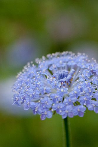 Flower, Blue lace flower | by nekonomania