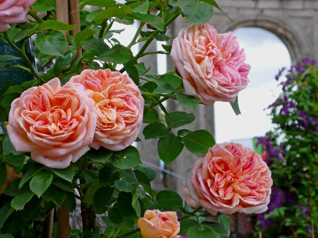 Rose antiche ancient roses mostra di piante rare ai for Rose piante