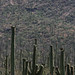 Field thick with cacti