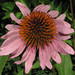 Echinacea purpurea, Floyd County Prairies area, Floyd County, Georgia 2