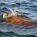 Mexico-7297 - Sea Turtle