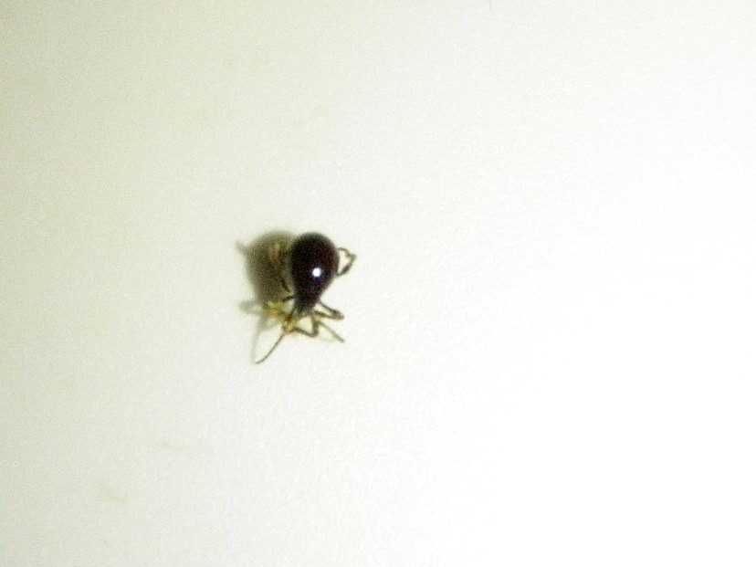 Bugs Commonly Confused For Bed Bugs