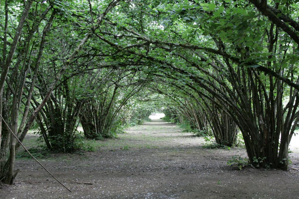 Old Hazelnut Orchard