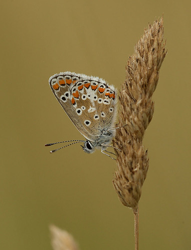 Brown Argus resting on Cocksfoot | by mikejrae
