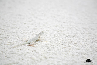 Bleached Earless Lizard | by Pavithra's Photography