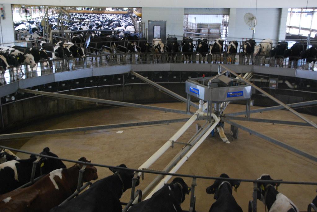 machine cows