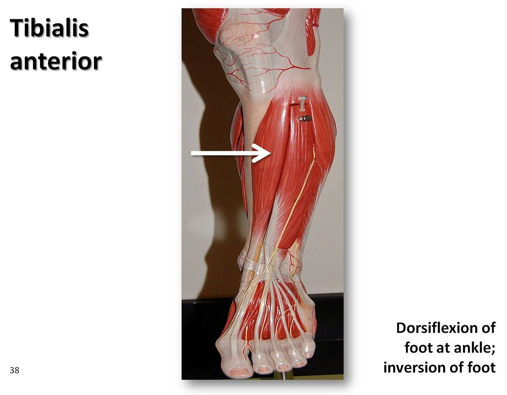 Tibialis anterior - Muscles of the Lower Extremity Anatomy… | Flickr
