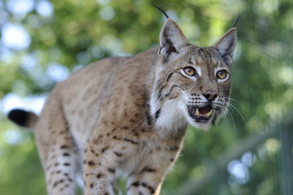 Iberian Lynx Big Cat Rescue