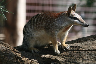 Numbat | by mpfl
