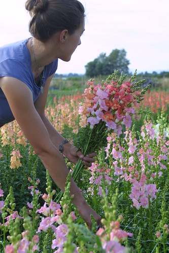 Harvesting Chantilly snapdragons - Floret Flower Farm | by Erin Benzakein / Floret Flower Farm