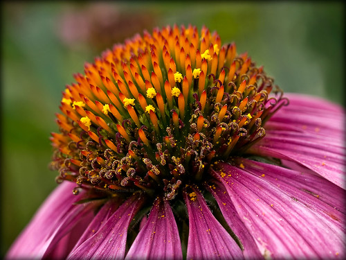 coneflower | by Celeste M (more off than on)