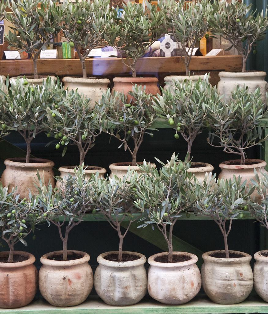 Olive trees for sale aix en provence torontoconnection for Olive trees for sale