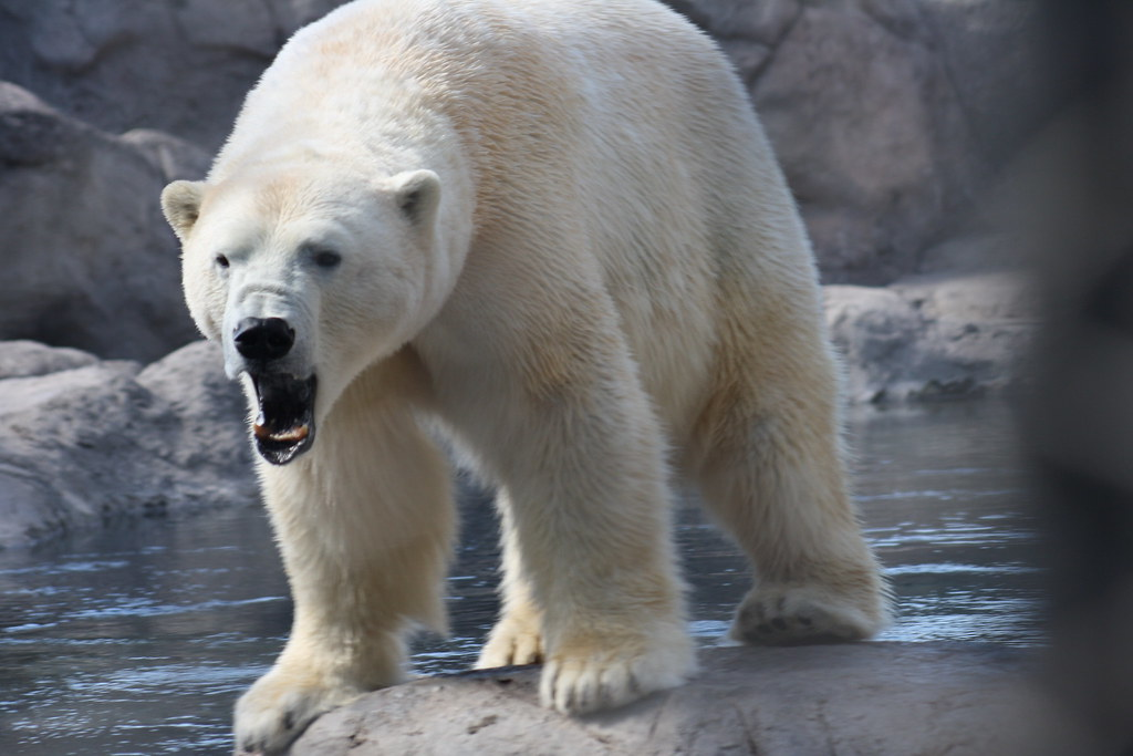 Polar Bear Growl | Rio Grande Zoo | wcgmeyer | Flickr