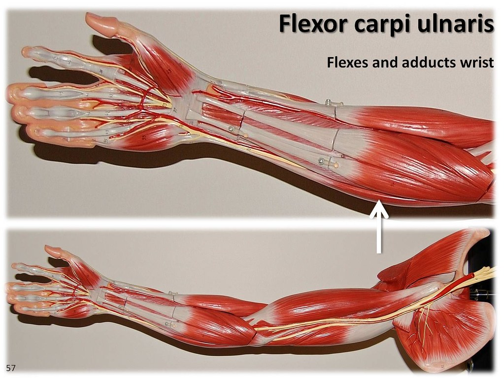 flexor carpi ulnaris muscles of the upper extremity visu flickr