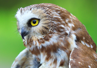 Northern Saw-whet Owl | by Lifeinthenorthwoods.com