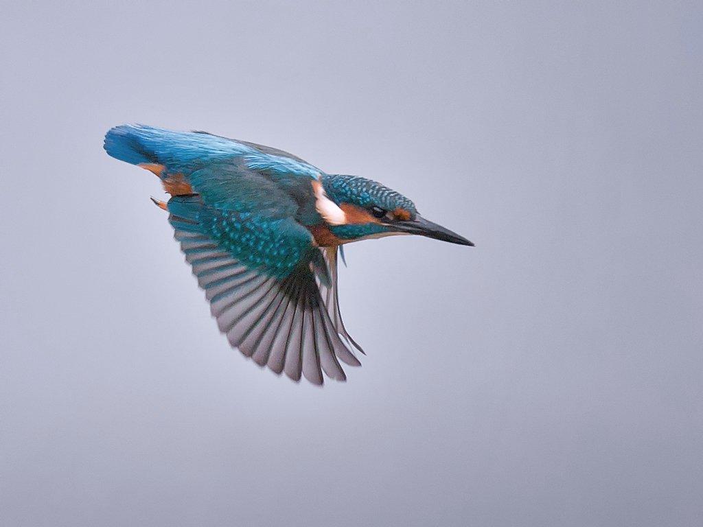 Kingfisher Flying Kingfisher in f...