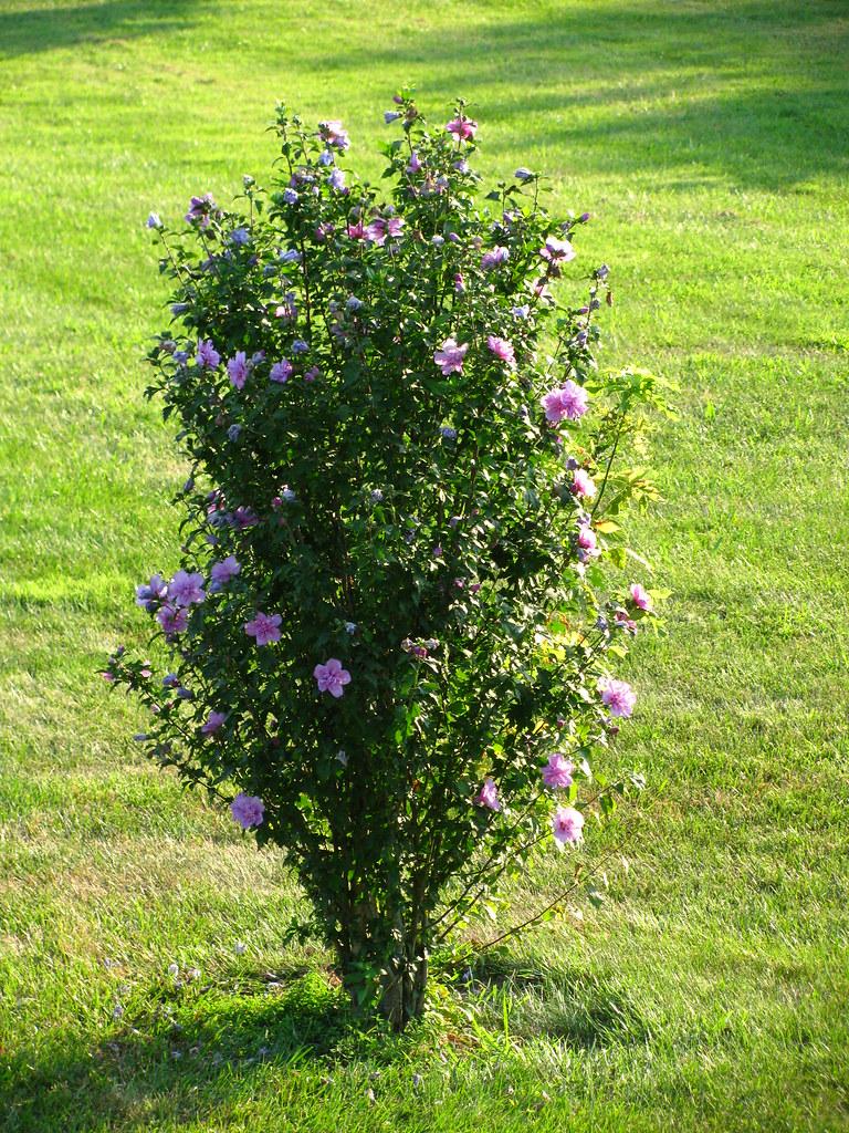 Rose Of Sharon Bush Klunk2010 Flickr