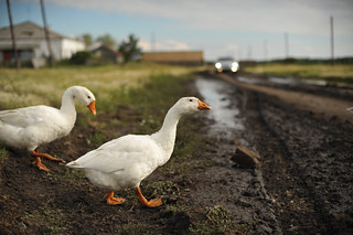 Geese Crossin' the Road | by goingslowly