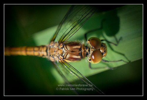 macro shot of Dragonfly | by patrickiven
